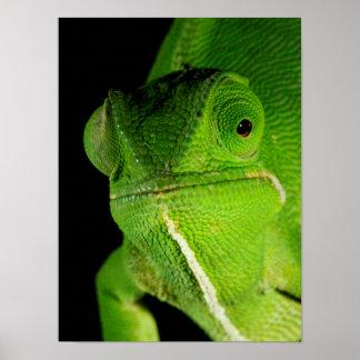 Portrait Of Flap-Necked Chameleon Poster