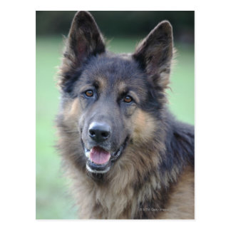 Portrait of German Sheppard Postcard