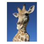 Portrait of Giraffe (Giraffa Camelopardalis) 2 Post Card
