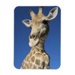 Portrait of Giraffe (Giraffa Camelopardalis) 2 Flexible Magnets