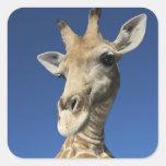 Portrait of Giraffe (Giraffa Camelopardalis) 2 Sticker
