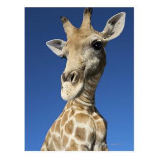 Portrait of Giraffe (Giraffa Camelopardalis) Postcard