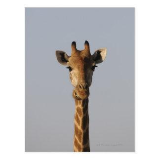 Portrait of Giraffe (Giraffa camelopardalis), Postcard