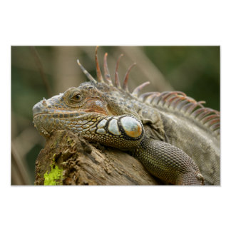 Portrait of green iguana poster