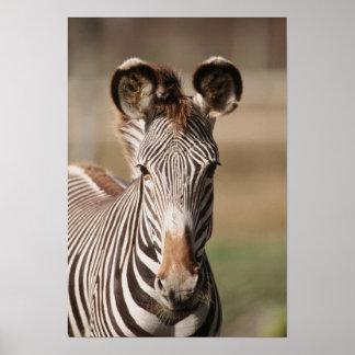 Portrait of Grevy's Zebra Poster