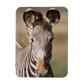 Portrait of Grevy's Zebra Rectangular Photo Magnet