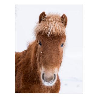 Portrait of Icelandic Horse Postcard