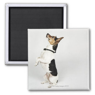 Portrait of Jack Russell dog sitting up on his 2 Inch Square Magnet