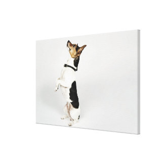 Portrait of Jack Russell dog sitting up on his Canvas Print