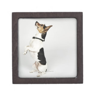Portrait of Jack Russell dog sitting up on his Jewelry Box