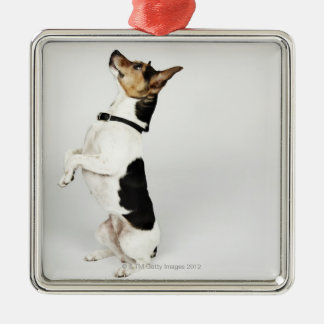 Portrait of Jack Russell dog sitting up on his Metal Ornament