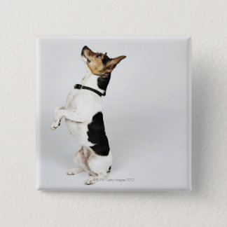 Portrait of Jack Russell dog sitting up on his Pinback Button