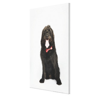 Portrait of Labradoodle dog Canvas Print