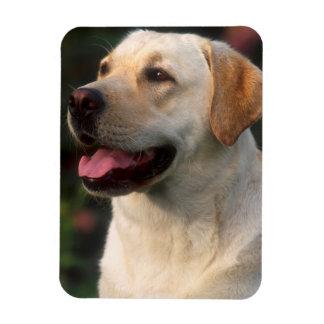 Portrait Of Labrador Retriever, Hilton Rectangular Photo Magnet
