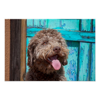 Portrait Of Lagotto Romagnolo In Front Of Blue Print