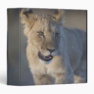 Portrait of Lion Cub (Panthera Leo), Namibia Binder