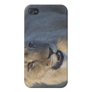 Portrait of Lion Cub (Panthera Leo), Namibia Covers For iPhone 4