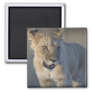 Portrait of Lion Cub (Panthera Leo), Namibia Magnet