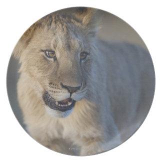 Portrait of Lion Cub (Panthera Leo), Namibia Plate