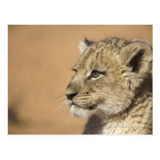 Portrait of Lion cub (Panthera Leo), Namibia Post Card
