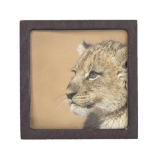 Portrait of Lion cub (Panthera Leo), Namibia Premium Keepsake Box