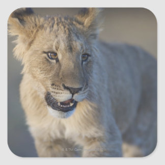 Portrait of Lion Cub (Panthera Leo), Namibia Square Sticker