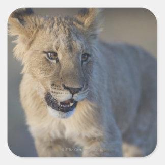 Portrait of Lion Cub (Panthera Leo), Namibia Square Sticker