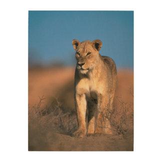 Portrait Of Lioness (Panthera Leo) Wood Wall Art