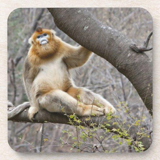 Portrait of male Golden monkey in tree Beverage Coaster