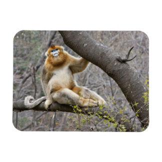 Portrait of male Golden monkey in tree Magnet