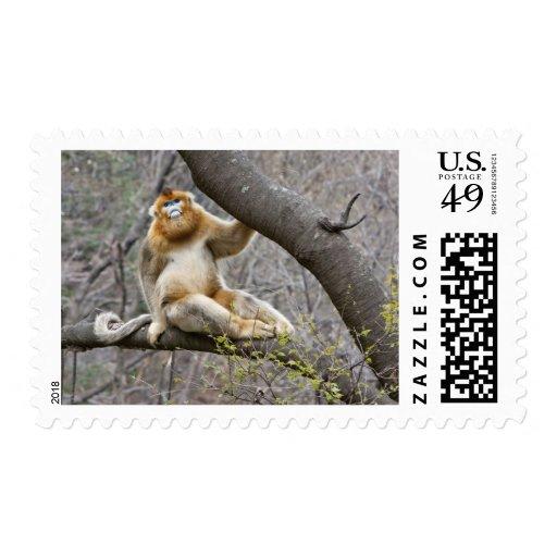 Portrait of male Golden monkey in tree Stamp