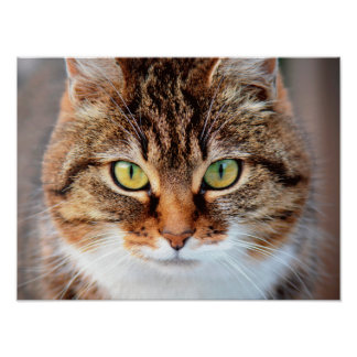 Portrait of Manx Cat Green-Eyed Poster