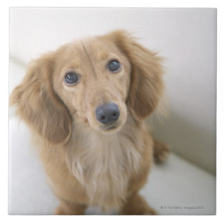 Portrait of Miniature Dachshund sitting, high Ceramic Tile