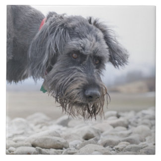 Portrait of mix breed dog, leaning over pebbles. large square tile