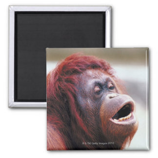 Portrait of orangutan magnet