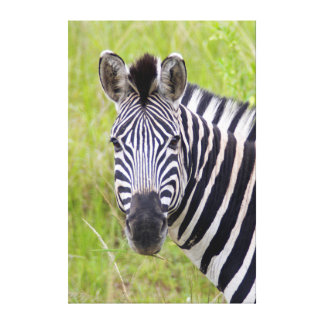 Portrait Of Plains Zebra, Hluhluwe-Umfolozi Game Stretched Canvas Print