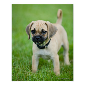 Portrait of puppy standing in grass poster