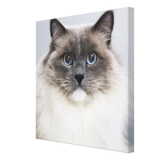 Portrait of Ragdoll cat Gallery Wrapped Canvas