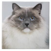 Portrait of Ragdoll cat Ceramic Tile