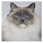 Portrait of Ragdoll cat Large Square Tile