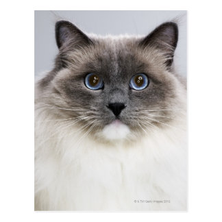 Portrait of Ragdoll cat Postcard