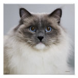 Portrait of Ragdoll cat Poster