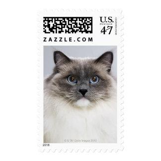 Portrait of Ragdoll cat Stamp