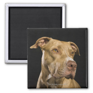 Portrait of red nose pitbull with black 2 inch square magnet