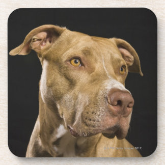 Portrait of red nose pitbull with black beverage coaster