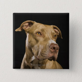 Portrait of red nose pitbull with black button