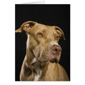 Portrait of red nose pitbull with black card