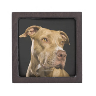 Portrait of red nose pitbull with black jewelry box