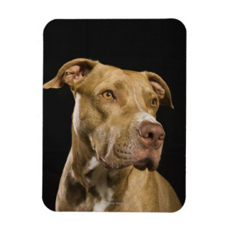 Portrait of red nose pitbull with black magnet