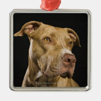 Portrait of red nose pitbull with black metal ornament